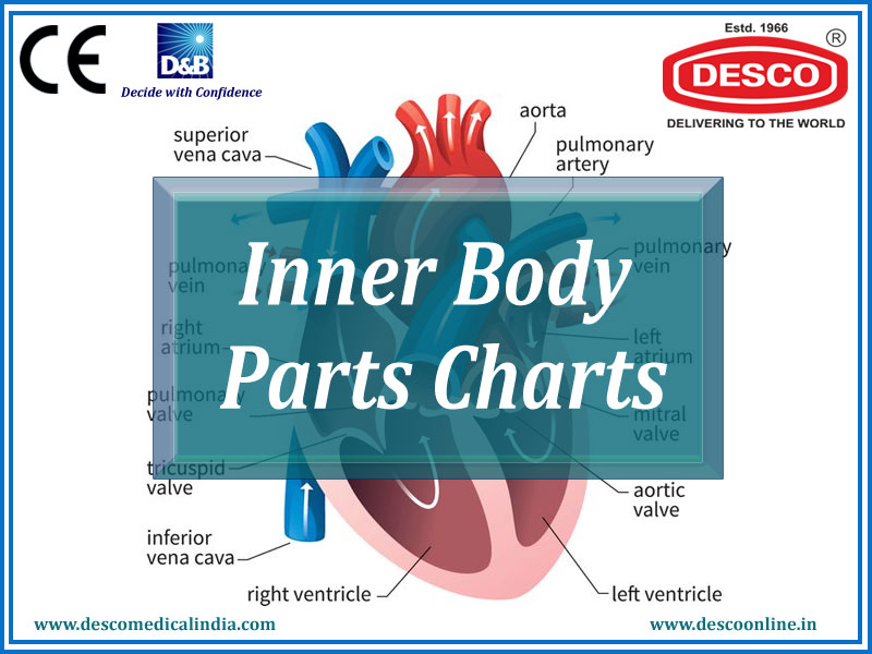 Inner Body Parts Charts
