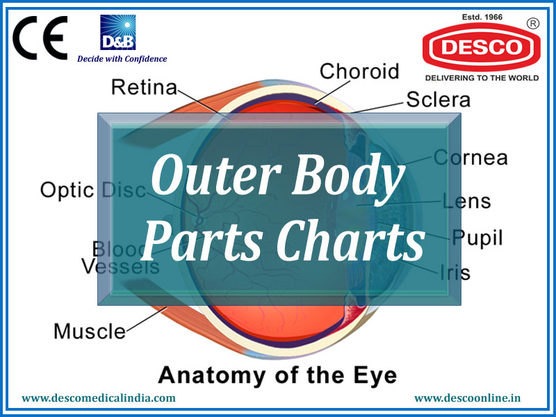 Outer Body Parts Charts