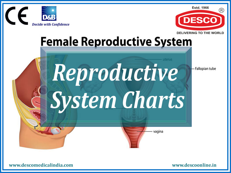 Reproductive System Charts